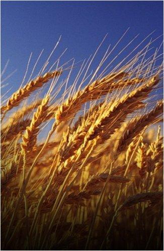 В Павлодарском регионе убрано 96% зерновых от общей площади