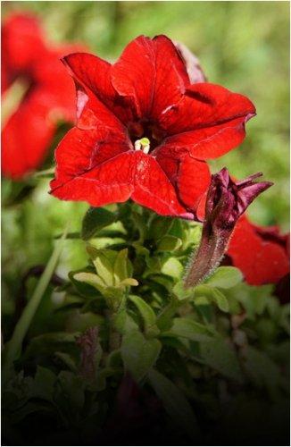 450 000 цветов высадят в Павлодаре в этом году