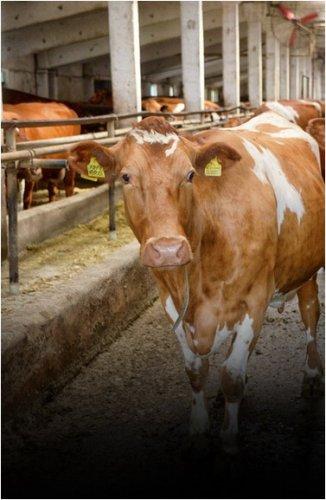 Больше четырех тысяч голов бесхозного скота водворили на штрафные стоянки