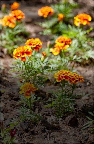 В Павлодаре началась массовая подготовка клумб к посадке многолетних растений
