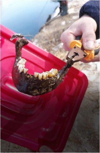Завершилась экспертиза по найденной в реке челюсти