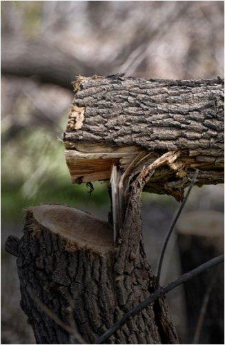 В Павлодаре снова может стать меньше деревьев из-за частного строительства