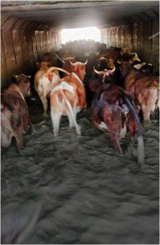 «Олимпийский» заплыв: как перегоняют скот на пастбища жители села Пограничник